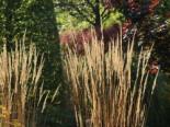 Sandrohr 'Karl Foerster', Calamagrostis x acutiflora 'Karl Foerster', Topfware