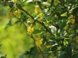 Sauerdorn / Gemeine Berberitze, 40-60 cm, Berberis vulgaris, Wurzelware
