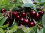 Sauerkirsche 'Coralin' (S), Stamm 40-60 cm, 120-160 cm, Prunus cerasus 'Coralin' (S), Containerware