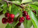 Sauerkirsche 'Karneol' ®, Stamm 40-60 cm, 120-160 cm, Prunus 'Karneol' ®, Wurzelware