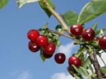 Sauerkirsche 'Korund', Stamm 40-60 cm, 120-160 cm, Prunus cer. 'Korund', Wurzelware