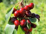 Sauerkirsche 'Maynard' ®, 50-60 cm, Prunus cerasus 'Maynard', Containerware