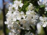 Sauerkirsche 'Ungarische Traubige', Stamm 40-60 cm, 120-160 cm, Prunus 'Ungarische Traubige', Containerware