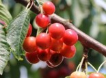 Sauerkirsche 'Werdersche Glaskirsche', Stamm 40-60 cm, 120-160 cm, Prunus 'Werdersche Glaskirsche', Wurzelware