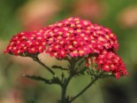Schafgarbe 'Paprika', Achillea millefolium 'Paprika', Topfware