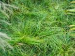 Schatten-Segge, Carex umbrosa, Topfware