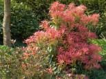 Schattenglöckchen 'Forest Flame', 25-30 cm, Pieris japonica 'Forest Flame', Containerware