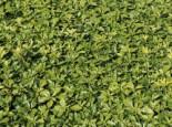Schattengrün 'Green Carpet' ®, 15-20 cm, Pachysandra terminalis 'Green Carpet' ®, Topfware