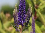 Scheinähriger Ehrenpreis 'First Glory', Veronica longifolia 'First Glory', Topfware