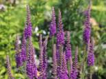 Scheinähriger Ehrenpreis 'Purpleiciosus', Veronica spicata 'Purpleiciosus', Topfware