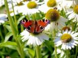 Scheinsonnenhut 'Avalanche' ®, Echinacea purpurea 'Avalanche' ®, Topfware