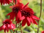 Scheinsonnenhut 'Eccentric', Echinacea purpurea 'Eccentric', Topfware