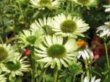 Scheinsonnenhut 'Green Jewel', Echinacea purpurea 'Green Jewel', Topfware