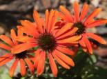Scheinsonnenhut 'Julia' ®, Echinacea purpurea 'Julia' ®, Topfware