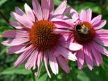 Scheinsonnenhut 'Leuchtstern', Echinacea purpurea 'Leuchtstern', Topfware