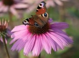 Scheinsonnenhut 'Mistral'®, Echinacea purpurea 'Mistral' ®, Topfware