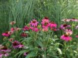 Scheinsonnenhut 'PowWow Wild Berry', Echinacea purpurea 'PowWow Wild Berry', Topfware