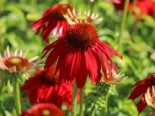 Scheinsonnenhut 'Salsa Red' ®, Echinacea purpurea 'Sombrero Salsa Red', Topfware