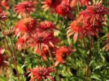 Scheinsonnenhut 'Secret Passion', Echinacea purpurea 'Secret Passion', Topfware