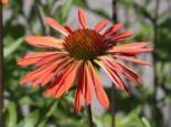 Scheinsonnenhut 'Sundown' ®, Echinacea purpurea 'Sundown' ®, Topfware