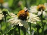Scheinsonnenhut 'Sunrise' ®, Echinacea purpurea 'Sunrise' ®, Topfware