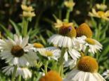 Scheinsonnenhut 'White Meditation', Echinacea purpurea 'White Meditation', Topfware