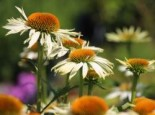 Scheinsonnenhut 'White Mist', Echinacea purpurea 'White Mist', Topfware