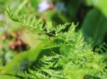Schellenbaum-Wurmfarn 'Linearis Polydactylon', Dryopteris filix-mas 'Linearis Polydactylon', Topfware