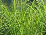 Schlanke Segge, Carex acuta, Topfware