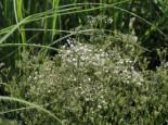 Schleierkraut 'Summer Sparkles' ®, Gypsophila paniculata 'Summer Sparkles' ®, Containerware