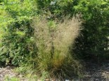 Schmiele 'Bronzeschleier', Deschampsia cespitosa 'Bronzeschleier', Topfware