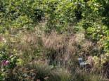 Schmiele 'Schottland', Deschampsia cespitosa 'Schottland', Topfware