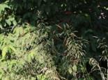 Schmiele 'Tauträger', Deschampsia cespitosa 'Tauträger', Topfware