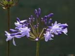 Schmucklilie 'Blue Triumphator', Agapanthus africanus 'Blue Triumphator', Topfware