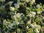 Symphoricarpos doorenbosii 'White Hedge'