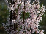 Schneeforsythie, 60-80 cm, Abeliophyllum distichum, Containerware