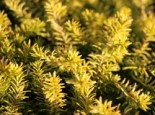 Schneeheide 'Golden Starlet', 10-15 cm, Erica carnea 'Golden Starlet', Topfware