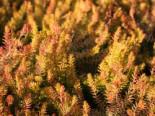 Schneeheide 'Westwood Yellow', 10-15 cm, Erica carnea 'Westwood Yellow', Topfware