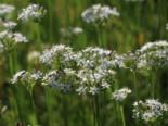 Schnitt-Knoblauch / Knoblauch-Schnittlauch, Allium tuberosum, Topfware