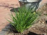 Schnittlauch, Allium schoenoprasum, Containerware