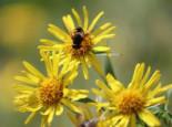 Schwertblättriger Alant 'Compacta', Inula ensifolia 'Compacta', Topfware