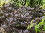 September-Silberkerze 'Chocoholic', Cimicifuga ramosa 'Chocoholic', Topfware