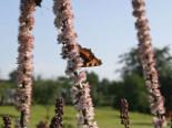 September Silberkerze, Cimicifuga ramosa 'Atropurpurea', Topfware