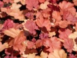 Heuchera micrantha 'Cherry Cola'