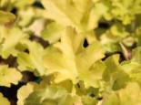 Silberglöckchen 'Lime Marmalade', Heuchera villosa 'Lime Marmalade', Topfware