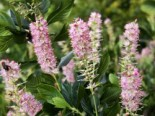 Silberkerzenstrauch 'Ruby Spice', 40-60 cm, Clethra alnifolia 'Ruby Spice', Containerware