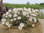 Silberwinde, Convolvulus cneorum, Topfware