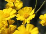 Silbrige Berg-Kamille, Anthemis marschalliana, Topfware