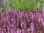 Sommer-Salbei 'Pink Delight', Salvia pratensis 'Pink Delight', Topfware