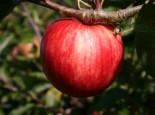 Sommerapfel 'Piros' ®, Stamm 40-60 cm, 120-160 cm, Malus 'Piros' ®, Wurzelware